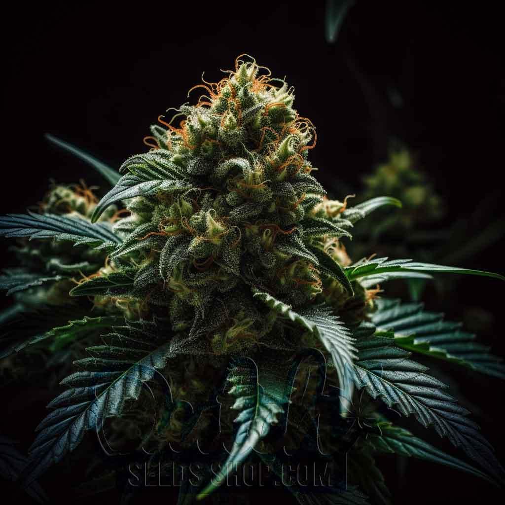 Nova OG Strain. Buy Feminized seeds at dutchseedsshop.com